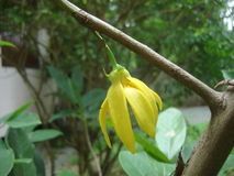Climbing  ylang ylang flowers Stock Photos