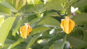 Climbing Ylang-Ylang, Manorangini, Hara-champa, Kantali champa flower stock video footage