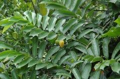 Climbing Ylang-Ylang Vine Stock Images