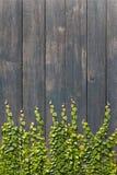 Climbingvine on wood wall Stock Photo