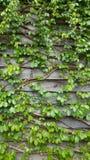 Clime da planta de videira no fundo de madeira da parede Imagens de Stock