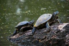 Clime van waterschildpadden van water voor het zonnebaden Royalty-vrije Stock Afbeelding