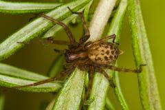 climing αράχνη Στοκ Εικόνες