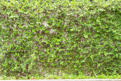 Climing tree wall Royalty Free Stock Photography