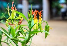Climping leluja z zielonymi liśćmi Zdjęcie Royalty Free