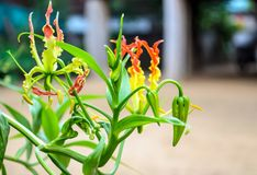 Climping lily with green leaves Royalty Free Stock Photo