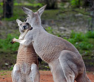 Clinch. Shot of a two roos in embrace stock image