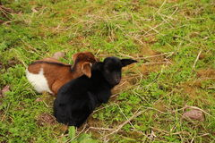 Cling lamb. Two little lamb snuggle together Royalty Free Stock Image