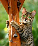 Clinging On. A Bengali special breed kitten with bright green eyes clinging on to a pole Royalty Free Stock Image