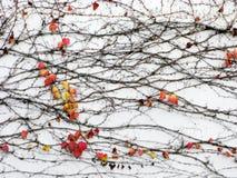 Clinging Autumn Vine Stock Images