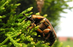 Clinging green June beetle Stock Photo