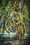Clinging roots Royalty Free Stock Photo