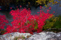 Clinging to Life. Photo of red maple leaves growing out of rocks at Great Falls Maryland Stock Photo