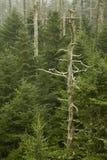 clingmans nieżywy kopuły jodeł fraser zdjęcie stock
