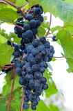 Clinton red wine grapes Royalty Free Stock Photography