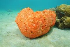 Cliona för svamp för borrning för havsliv röd delitrix Royaltyfria Bilder