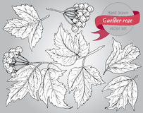 Clip art collection of hand drawn guelder rose plant Royalty Free Stock Image
