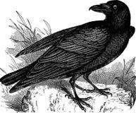 Clip art del ejemplo del cuervo del vintage ilustración del vector
