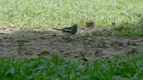 Bird eat insect in the park. Clip Bird eat insect in the park stock footage