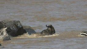 Clip de la cámara lenta del ñu y de la cebra que saltan en el río de Mara en reserva del juego de Mara del masai metrajes