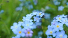 Clip del primer de la nomeolvides Flores hermosas almacen de metraje de vídeo