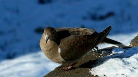 Clip del primo piano delle colombe di dolore, del macroura di zenaida o della colomba americano della pioggia, allungando gamba e video d archivio