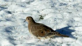 Clip del primo piano delle colombe di dolore, del macroura di zenaida o della colomba americano della pioggia, su nevoso archivi video