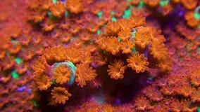 Clip macro del coral verde y rojo del montipora con el movimiento y el enfoque del pólipo hacia fuera almacen de metraje de vídeo