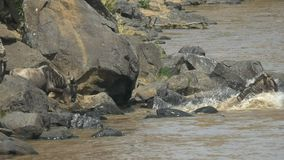 clip 60p del ñu que entra en el río de Mara en la reserva del juego de Mara del masai, Kenia almacen de video
