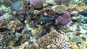 Clip of a sohal surgeonfish or sohal tang, Acanthurus sohal. Slow motion clip of a sohal surgeonfish or sohal tang, Acanthurus sohal stock video