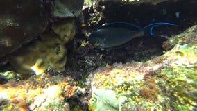 Clip of a sohal surgeonfish or sohal tang, Acanthurus sohal. Slow motion clip of a sohal surgeonfish or sohal tang, Acanthurus sohal stock video footage