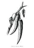 Clipa preto e branco da ilustração da gravura do desenho da mão dos pimentões Fotografia de Stock Royalty Free