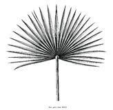 Clipart d'annata dell'incisione di tiraggio di foglia di palma della mano del fan isolato su w royalty illustrazione gratis