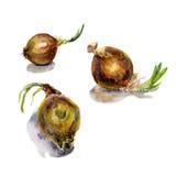 Clipart dell'alimento dell'acquerello Insieme dell'acquerello delle verdure cipolla Fondo di verdure con le cipolle disegnate a m Fotografia Stock Libera da Diritti