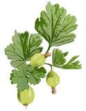 Clipart dell'uva spina Immagini Stock