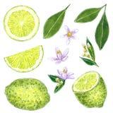 Clipart della calce messo con le foglie ed i fiori Illustrazione disegnata a mano dell'acquerello illustrazione vettoriale