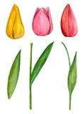 Clipart do vetor das tulipas Fotografia de Stock Royalty Free