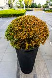 Clipped Barberry Bush 2 stock images