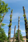 Clipped poplar trunks Royalty Free Stock Photography