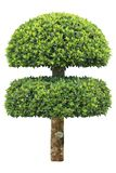 Double layer clipped topiary tree isolated on white background for formal Japanese and English style artistic design garden. Clipped topiary tree isolated on royalty free stock photos