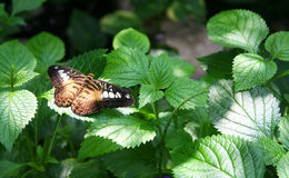 Clipper Butterfly. A clipper butterfly resting on a leaf Stock Photography