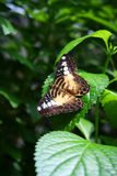 Clipper Butterfly. A clipper butterfly resting on a leaf Royalty Free Stock Image
