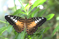 The Clipper Butterfly. Clipper Butterfly in a garden setting Royalty Free Stock Images