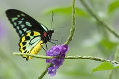 Clipper butterfly Royalty Free Stock Images