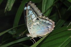 Clipper Butterfly. Blue Clipper Butterfly profile shot, taken in south Florida Royalty Free Stock Images