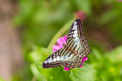 Clipper butterfly Royalty Free Stock Photo