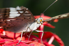 Clipper Butterfly Grooming Royalty Free Stock Photos