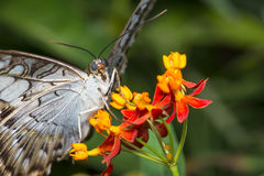 Clipper Butterfly Macro. Clipper butterfly with its detailed vain wing on a tropical milkweed flower with two tiny orange aphids royalty free stock images