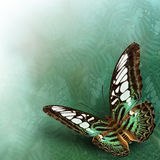 Clipper Butterfly (Parthenos sylvia) The beautiful flying green Stock Images