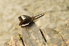 Clipper butterfly ( parthenos sylvia) resting Royalty Free Stock Photography